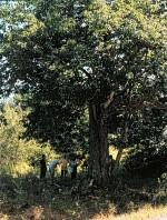 Largest Chestnut Tree